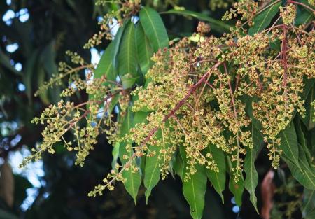 Mango flowers photo