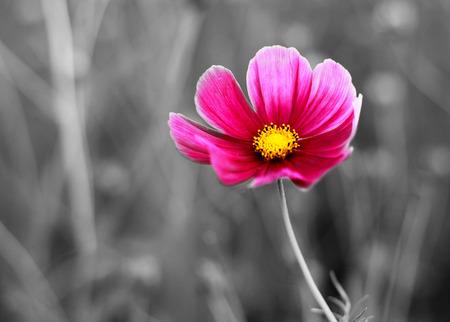 campo de flores: Color de las flores cosmos detalle sobre fondo blanco y Negro