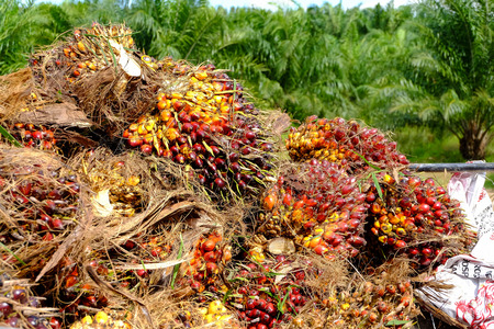 palm fruits: fresh palm fruits, raw material for vegetable oil and bio diesel Stock Photo