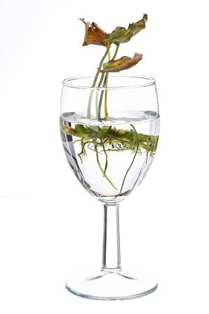 Tote oder sterbende Pflanze in einem kleinen Glas Standard-Bild