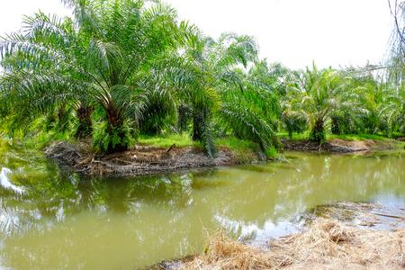 palm oil: the farm of palm oil Stock Photo