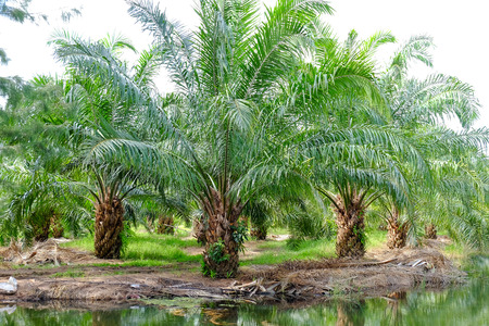 red palm oil: the farm of palm oil Stock Photo