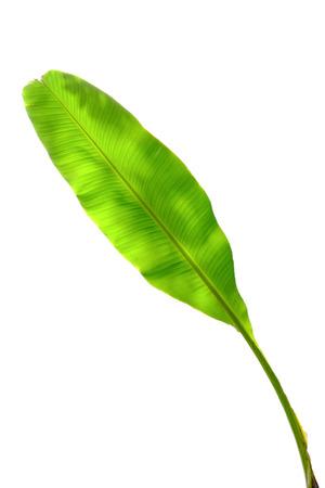 banana leaf: Banana trees isolated on white background