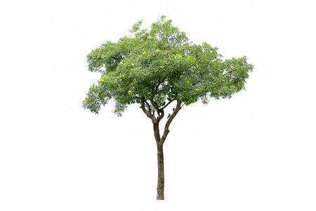 sorbus: tree isolated on white, bird on tree