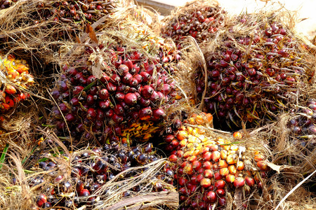 bio diesel: fresh palm fruits, raw material for vegetable oil and bio diesel Stock Photo