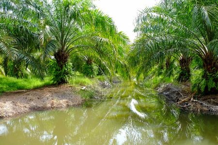 palm oil plantation: the farm of palm oil Stock Photo
