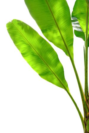 bracts: Banana trees isolated on white background