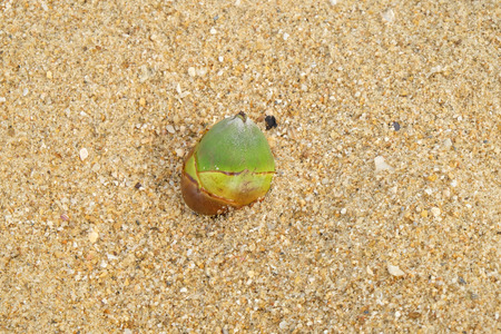 Baby coconuts on sand