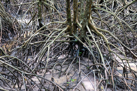 The forest mangrove at  Thailand