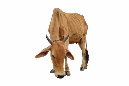 Kuh isoliert auf weiß