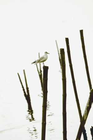 samutprakarn: Seagull in Bang-Pu Thailand Stock Photo