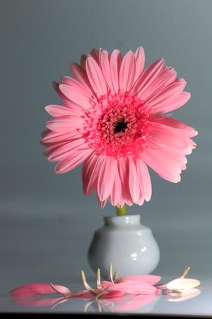 Pink Gerbera flower in vase. photo