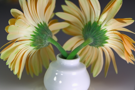 Yellow Gerbera flower in vase. photo