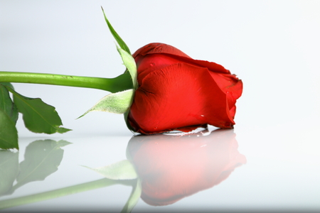 Red Rose for Valentine photo