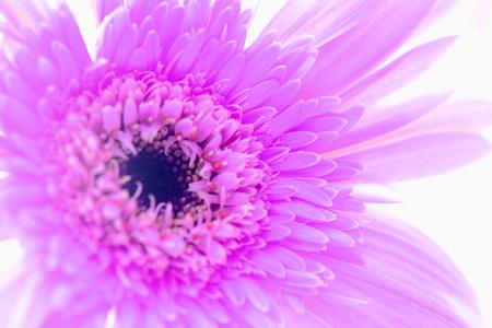 Gerbera pollen photo