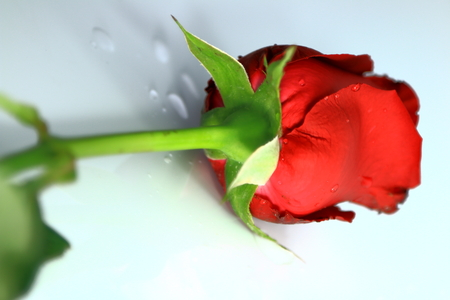 Red Rose for Valentine\ photo