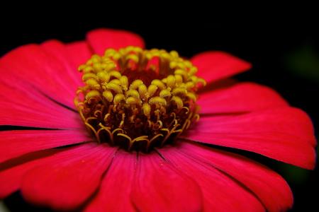 Pink flower (Banchurn) for decoration photo