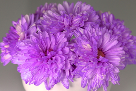 Purple Chrysanthemum for decoration photo