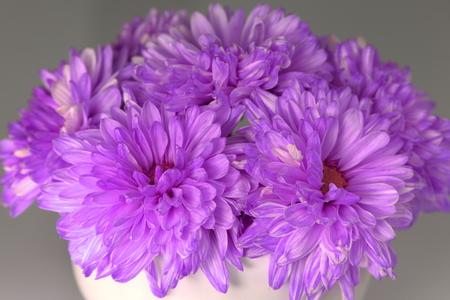 Purple Chrysanthemum for decoration photo