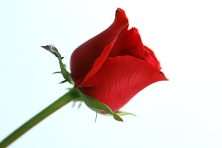 Red Rose portrait photo