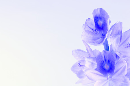 Water Hyacinth flower portrait photo