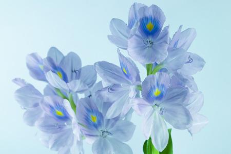 Water Hyacinth flower portrait photo