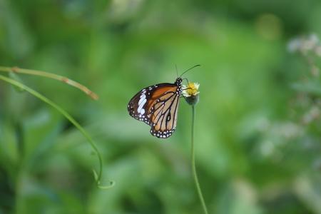 pollen: Butterfly eating pollen. Stock Photo