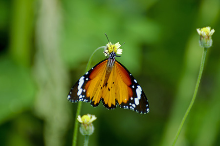 butterfly knife: Butterfly eating pollen. Stock Photo