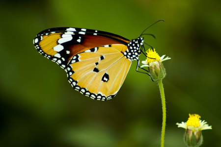 Butterfly eating pollen. photo