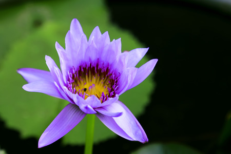 Thai lotus portrait photo