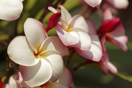 Leelawadee flower or Plumelia flower photo