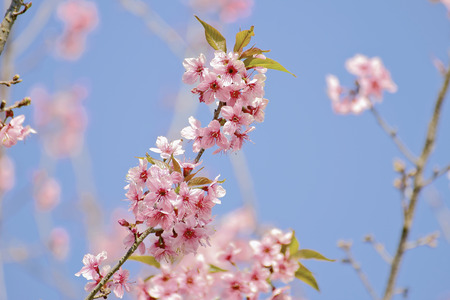 Wild Himalayan Cherry or Thai Sakura photo