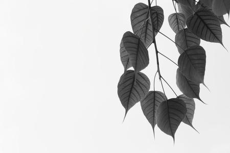 B&W Pink heart leaf or Bo tree photo