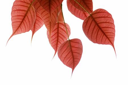 Pink heart leaf or Bo tree photo