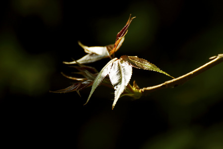 maple tree: Maple tree in Thailand