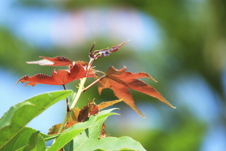 Maple tree in Thailand photo