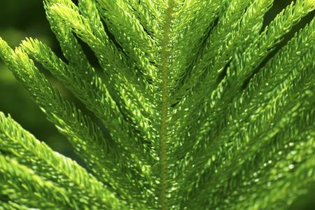 Pine leaf in norther Thailand photo