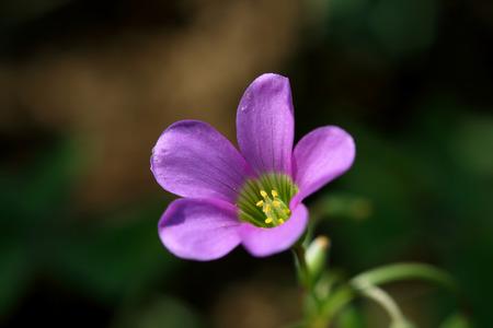 Purple grass flower in Thailand photo