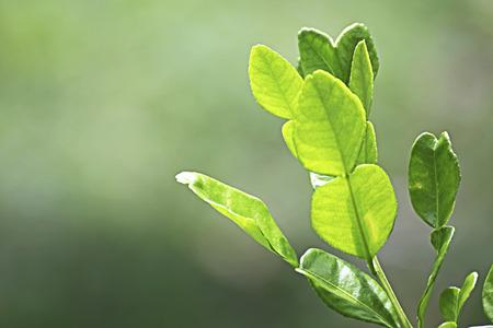 kaffir: Kaffir lime leaf