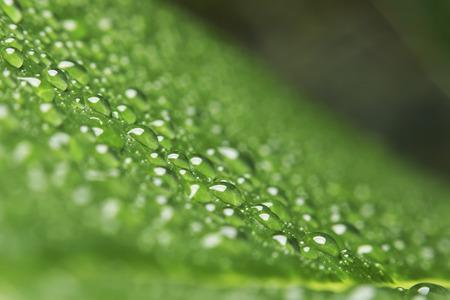 dew drop: Dew drop after raining.