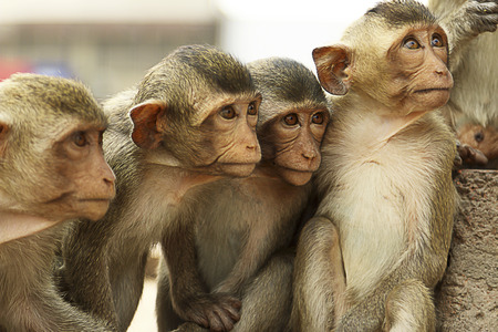 Five monkeys look at something in Thailand.