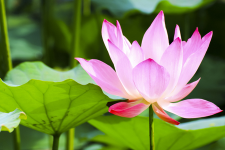 Pink Lotus in plant of Thailand for background decoration.