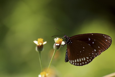 The butterfly eating pollen syrup on nature background. Stock Photo