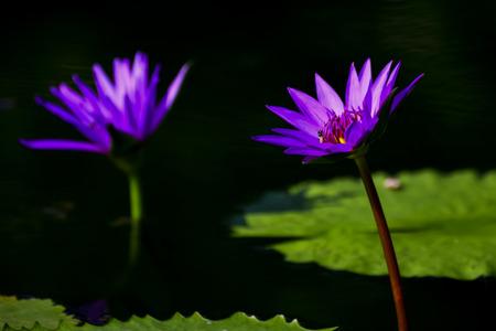 Thai lotus in Thailand nature. Stock Photo