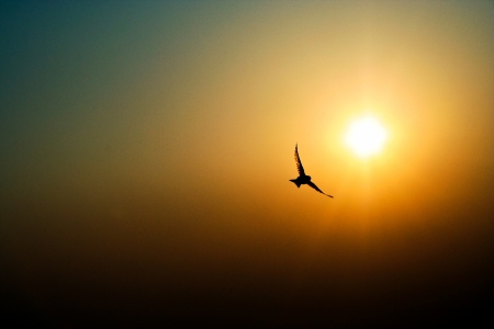bird flying: Bird Flying Into a Sunset Stock Photo