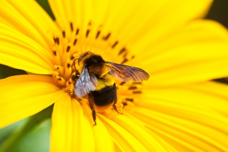 Bee on Mexican Sunflower Weed