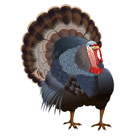 Realistic image turkey with her tail on a white background. Thanksgiving symbol. Vector illustration
