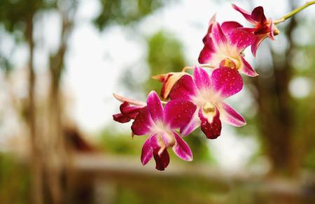 orchidea: brunch of purple orchid. selective focus