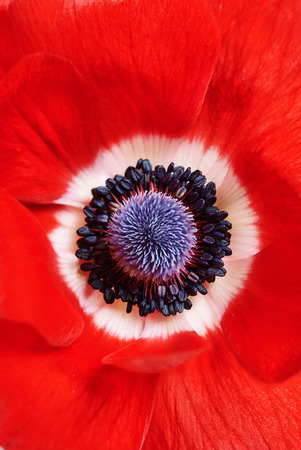 red anemone close up