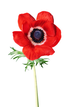 red anemone flower isolated on white background